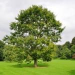 5 Quercus