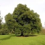 6 Quercus ilex (Leccio)